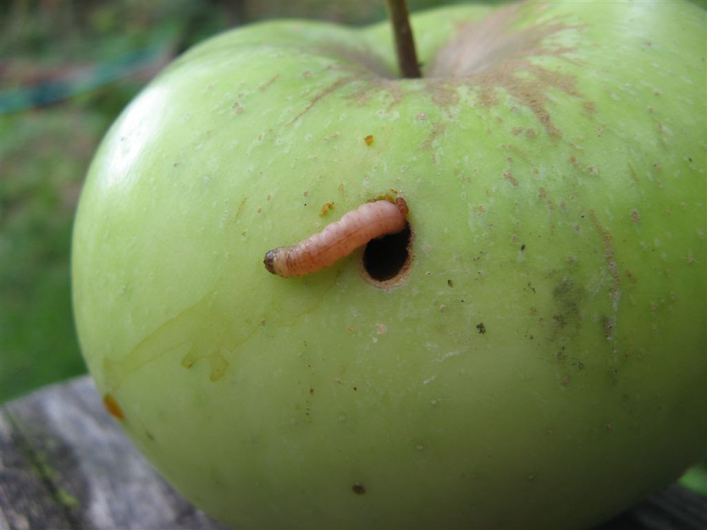 """The """"worm"""" in your apple is usually actually a codling moth larvae, which can be controlled by BT applications."""