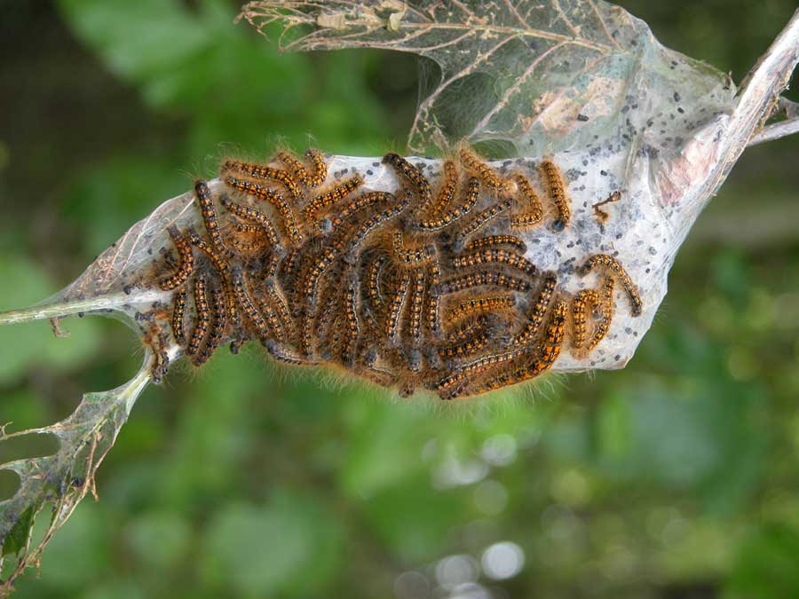 Tentworms are another common orchard pest controlled with BT.