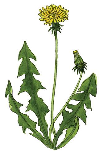aemen-dandelion-drawing
