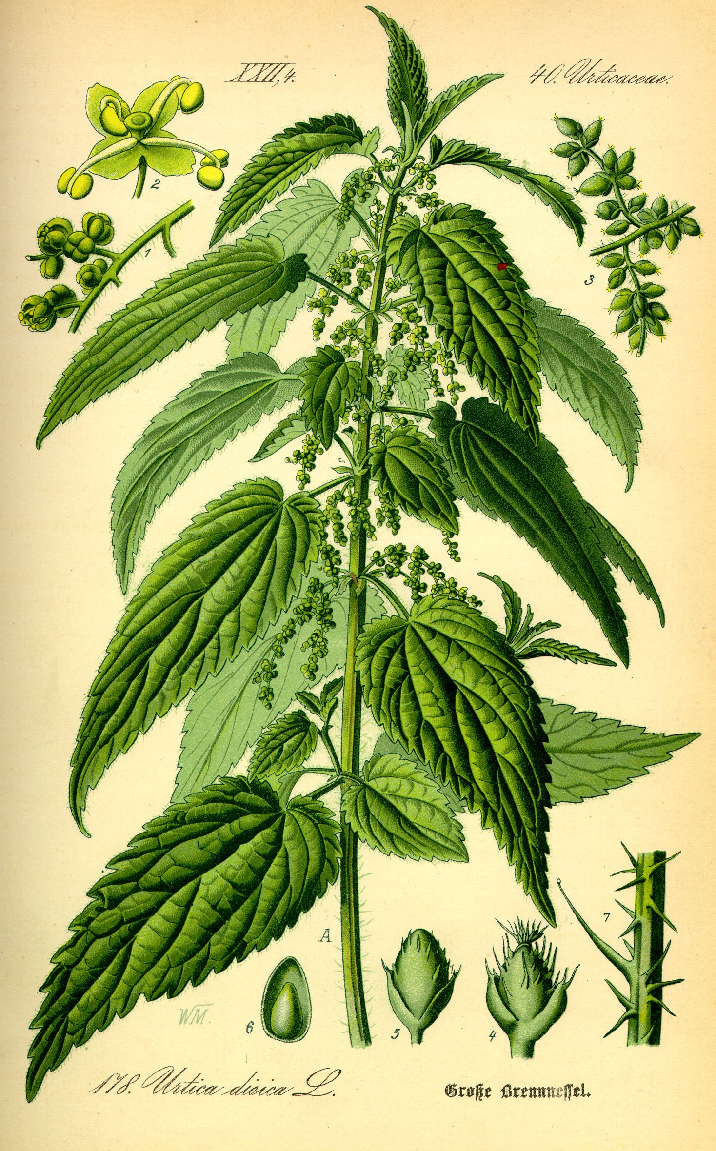 nettle-drawing