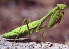 praying mantis 5.19